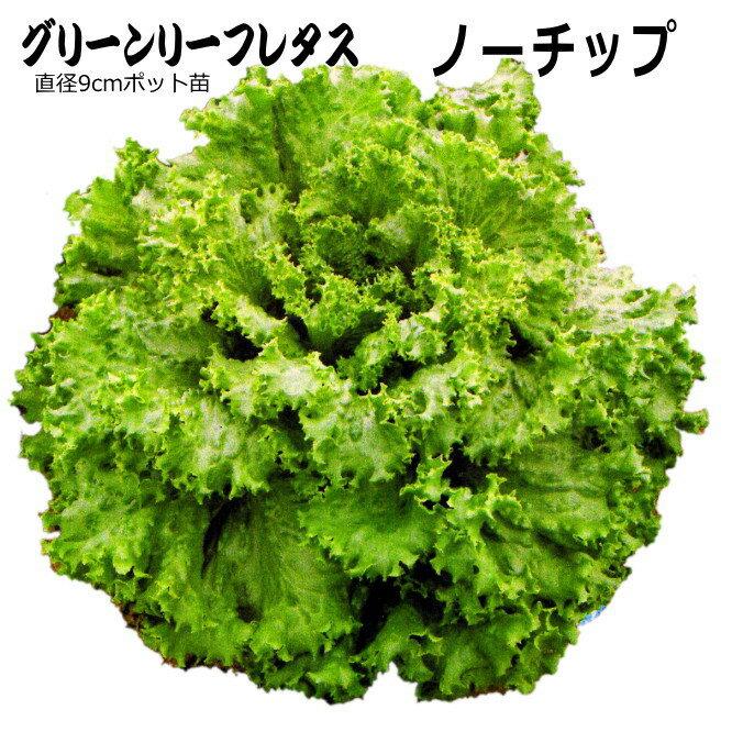 レタス 苗 ノーチップ 5ポットセット グリーンリーフレタス 【ラッキーシール対応】