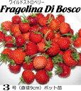 ワイルドストロベリー苗・森のイチゴ Fragolina Di Bosco