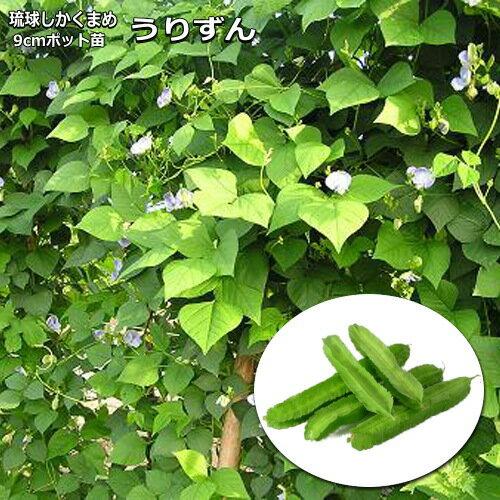 琉球しかくまめ うりずん豆(苗)