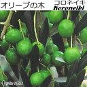 オリーブ 苗木 Koroneiki コロネイキ 4号ポット