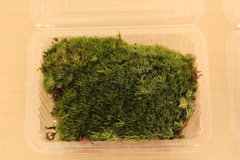 盆栽張り替え用苔パック詰め 盆栽の苔を張り替えるだけでバージョンアップ!【楽ギフ_包装】迎…...:nakamurabonsai:10000304