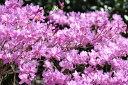 【現品発送】ミツバツツジ Aクラス 高さ1.0m?1.3m 低木、花木、ツツジ