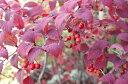 現品発送 オトコヨウゾメ高さ1.4m〜1.6m花,実,紅葉