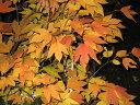 【現品発送】シロモジ株立 Aクラス 高さ1.7m〜2.1m シンボルツリー、落葉樹