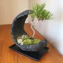 盆栽 黒松 水昇岩三日月鉢 飾り皿付 クロマツ 男松 陶器鉢 bonsai 盆栽飾り 縁起物 長生きご長寿 還暦祝い 父の日 母の日 誕生日 めでたい 寿