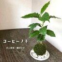 苔玉 コーヒーノキ コーヒーの木の苔玉・器セット 手のひらサイズでも本格的 一年中葉を楽しめる おためしこけだま かわいい おしゃれ 珈琲 coffee