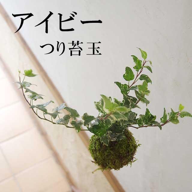 吊って楽しむ、置いて楽しむ【苔玉の入門版、丈夫で育てやすい!アイビー吊り苔玉】