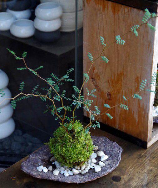 苔玉ソフォラプロスタータメルヘンの木かわいいコケ玉くらま岩器セット敷石つきユニークな樹形インテリアプ