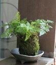 苔玉 涼しげな葉が魅力のシダ植物 シノブの苔玉・三つ足灰器セット