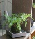 苔玉 涼しげな葉が魅力のシダ植物 シノブの苔玉焼締角器セット 敷石つき 陶房・歩知歩智 名古屋セット
