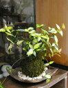 苔玉 黄色い葉 テイカカズラの苔玉焼締茶器セット 敷石つき 陶房・歩知歩智 名古屋セット 黄金と緑色の葉が美しい苔玉