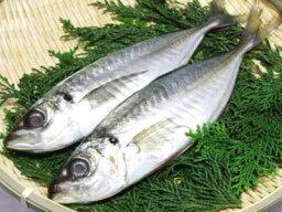 【鮮魚】天然鯵〈アジ〉【1本釣】1Kg前後、3〜5匹前後