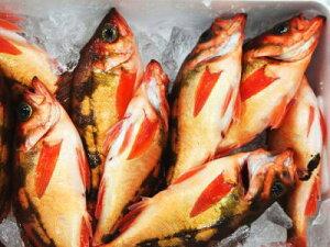 【鮮魚】メバル1匹、200g〜300g前後