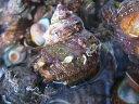 【鮮魚】栄螺〈サザエ〉小1Kg前後、10個前後