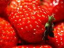 苺〈イチゴ〉【国産】1パック、300g前後、15~26粒前後