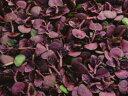 紫芽〈ムラメ〉1パック、20g〜50g前後