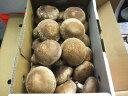 ジャンボ椎茸〈ジャンボシイタケ〉1箱、20〜30個前後、1Kg前後