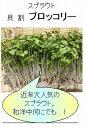 【スプラウトシリーズ】 かいわれブロッコリー