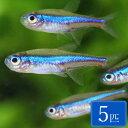 グリーンネオンテトラ 5匹 セット 観賞魚 魚 アクアリウム カラシン 熱帯魚 ペット スターターフィッシュ 初心者