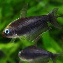 ブラックエンペラーテトラ 1匹 観賞魚 魚 アクアリウム 熱帯魚 ペット
