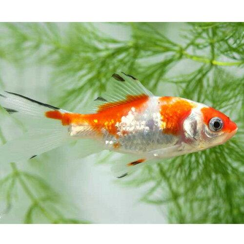 メタリック桜コメット (弥富) 1匹 金魚 魚 観賞魚 アクアリウム ペット