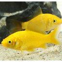 ゴールデンコメット・短尾タイプ 1匹 金魚 魚 観賞魚 アクアリウム ペット