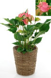 18%OFFアンスリウム(アンスリューム)【観葉植物】お花長持ち、母の日の贈り物にぴったり。☆・鉢カバー付・上のお得☆【室内用】アンスリウム(アンスリューム)・ピンクチャンピオン、