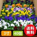 【送料無料】【お買い得】新鮮ビオラ・カラーミックス3寸40個セット [花苗][ビオラ] 【smtb-