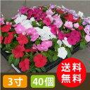 【送料無料】新鮮ニチニチソウ・カラーミックス3寸40個セット [花苗]【smtb-TK】