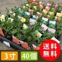 【送料無料】ポーチュラカ カラーミックス3寸40個セット ハナスベリヒユ [花苗]【smtb-TK】
