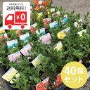 【日本国内どこでも送料無料!】ポーチュラカ カラーミックス3...