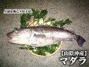 送料無料【スピード出荷】鳥取県産マダラ(真鱈)[生]大 1匹...