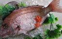 天然 鯛 瀬戸内海産 1kg【 地鎮祭 に喜ばれているサイズです 】
