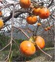 【★12/16発で終了】【近畿地方産】特別栽培 菊井さんの柿(富有柿) 約900g(3〜5個)