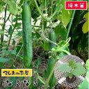 【てしまの苗】 キュウリ苗 なるなる 断根接木苗 9cmポット 【人気】 野菜苗 培土 種