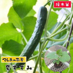 【てしまの苗】 キュウリ苗 夏すずみ 断根接木苗 9cm