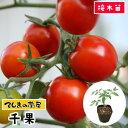 【てしまの苗】 ミニトマト苗 千果 断根接木苗 9cmポット 野菜苗 培土 種