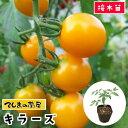 【てしまの苗】 ミニトマト苗 キラーズ 断根接木苗 9cmポット05P01Mar15野菜苗 培土 種
