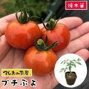 【てしまの苗】 ミニトマト苗 CFプチぷよ 断根接木苗 9cmポット 野菜苗 培土 種