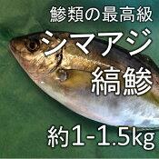 縞鯵 シマアジ(築地直送)約1-1.5kg 熊本産他【シマアジ1−1.5K】 冷蔵