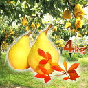 【頑張って送料無料!】金子さん夫妻が作る果物の中の貴婦人!ル・レクチェ 4kg(10〜13玉)〜トロッとしてなめらかな舌触り!〜※生鮮果実のため商品代引き利用不可 【楽ギフ_のし】【楽ギフ_のし宛書】