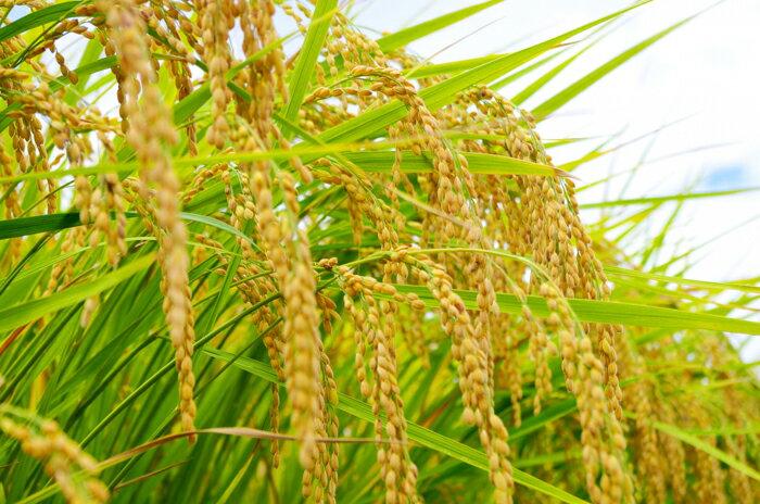 【頑張って送料無料!】新潟県産特別栽培米コシヒカリ10kg新潟県特別栽培農産物認証をもらっている特別なコシヒカリです!精米(白米)してお届けします