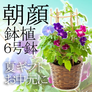 【ポイント10倍 お中元 2016 送料無料】朝顔 鉢植 サマーギフト 夏ギフト