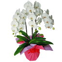 美しい白大輪の胡蝶蘭です。ご贈答用に。【品質保証★花】大輪胡蝶蘭3本立(白)【全国送料無料】