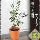 選べる 品種 オリーブ 4号鉢 鉢植え プレゼント ギフト オリーブの木 観葉植物 インテリアグリーン 送料無料