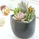 個性的な形・色をした植物です。肉厚の葉や、触れたときの感触、チョッと変わった植物です。【品質保証★花】多肉植物寄植「クロ」【全国送料無料】