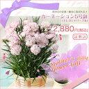 【母の日ギフト2014】カーネーション5号鉢(エレガントパープル)【花】【RCP】【楽ギフ_メッセ】