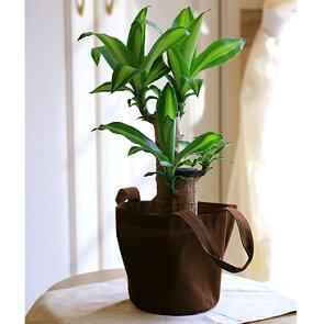 幸福の木5号鉢エコバック付き【送料無料】【品質保証★花】