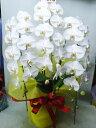 コチョウラン鉢 ホワイト 3本立ち 21000円税込