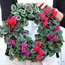 届いてからも驚く程お花が咲くから、冬のギフト・プレゼントはコレで決まり♪クリスマスリースに(寄せ植えハンギング・リース・プランター)豪華花苗リース完成品ギフト(ガーデンシクラメン)送料無料